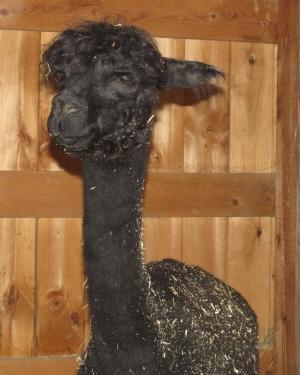 Hopkinton State Fair charmingfare farm